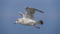 Eine Möwe fliegt am blauen Himmel auf der Suche nach Futter