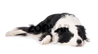 Border collie dog isolated on white background