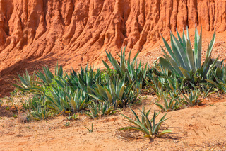 Group of Agaves at european rocky mountain