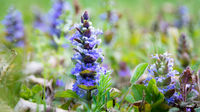 Blue flower in a meadow