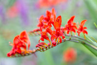 Red flowers Montbretia Lucifer at shallow depth background