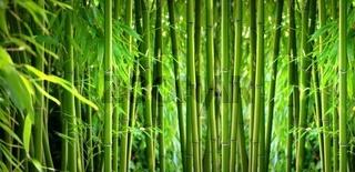 Bambus Panorama