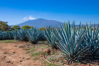 Blue Agave field in Tequila, Jalisco, Mexico