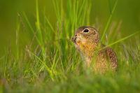 European ground squirrel sitting in grass during the summer.