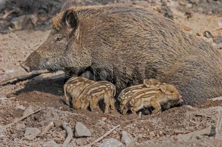 Wildschwein mit Frischlingen 'Sus scrofa'