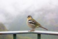 Madeira chaffinch bird, fingilla coelebs madeirensis