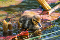 Baby duck in the pond