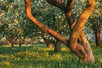 green flowering Apple trees in the garden. Spring Sunny morning day