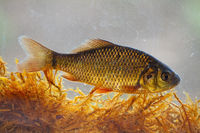 Alive young crucian carp diving in river water under surface.