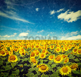 Vintage retro hipster style image of idyllic scenic landscape - sunflower field and blue sky with grunge texture overlaid