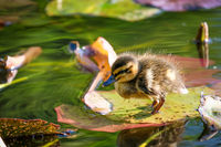 Cute baby duck standing on a water lily leaf
