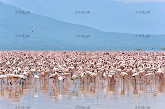 riesige Schwärme von Flamingos im Rift Valley