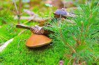 Brauner Filzroehrling im Wald -  Xerocomus ferrugineus mushroom in autumn forest