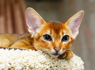 Abyssinian kitten