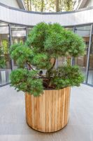 Wooden pot with green coniferous tree