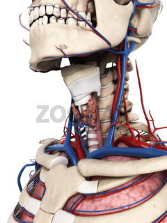 3d rendered illustration of the neck anatomy