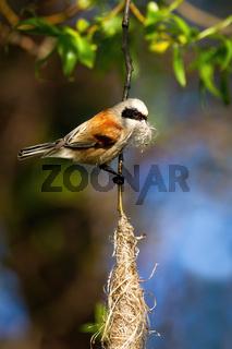 European penduline tit holding grass in beak and building hanging nest
