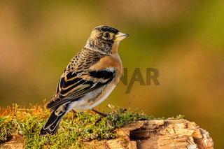 Male brambling sitting on a branch covered with green moss in autumn nature
