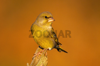 European greenfinch looking on trunk in autumn nature