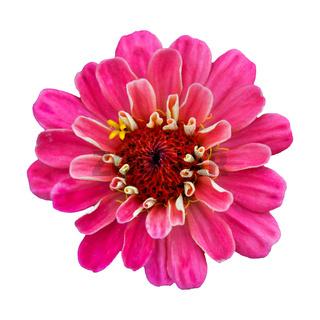 Beautiful pink flower zinnia isolated.