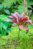 Costa Rica Cordyline fruticosa red in tropical forest