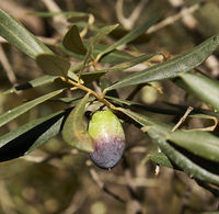 Two-colored olive on olive branch