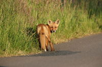 red fox (Vulpes vulpes), fox cub stands on the street, Germany