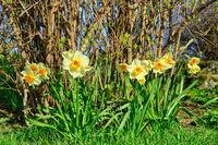 Daffodils in Spring Garden