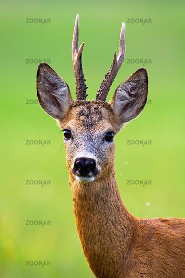 Alert roe deer buck with big antlers looking into camera in summer nature