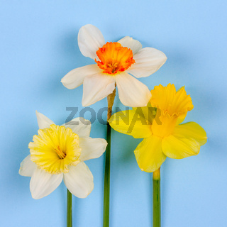 narcissus flowers on blue background, top view flat lay