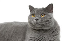 Portrait of gray cat (breed Scottish straight) on a white background