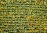 Bird-eye view from a drone above forest plantation from young trees.