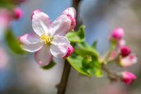 Zartrosa Apfelblüten im Frühlingsgarten