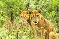 Zwei Löwenjunge im afrikanischen Busch