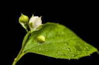 Three buds and a leaf of a philadelphus coronarius