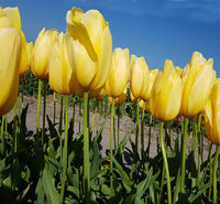 Tulipa Big Smile, Tulpenbluete