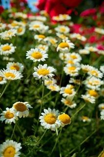 blühende Margeriten in einem Garten