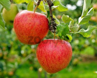 Frische rote Äpfel im Garten