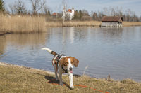 Beagle am Kochelsee