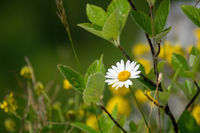 natural daisy flower