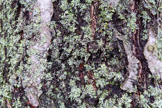 Detail tree trunk bark with lichen  as background