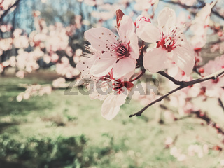 Vintage background of apple tree flowers bloom, floral blossom in spring