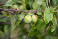 Naturalistic view of two unripe green plum