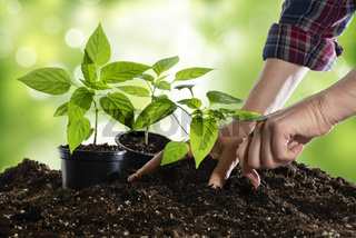Paprika-Setzlinge einpflanzen