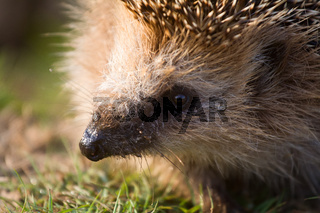 hedgehog  needle wild animal close up