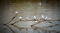 Flock of seagulls on a branch on a lake