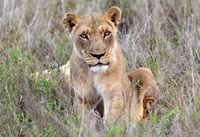 Junge Löwin, Hlane Royal National Park, Swasiland,