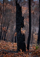 Burnt out tree in a bushfire ravaged landscape
