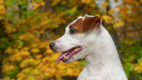 Beautiful autumn terrier puppy outdoors in park