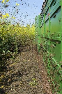 Bienenschwarm im Anflug auf ihre Bienenkästen